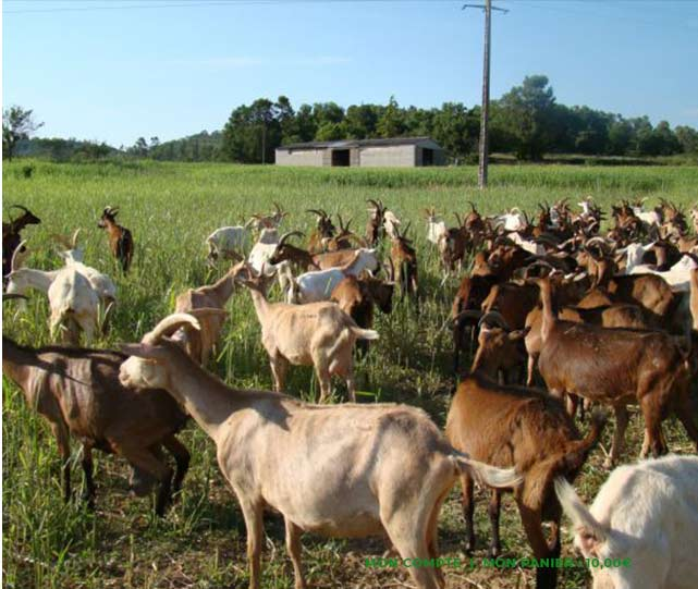 champ chevres2 - Vente de fromages de chèvre fermiers | Fromagerie Saint Jaume à Barjols