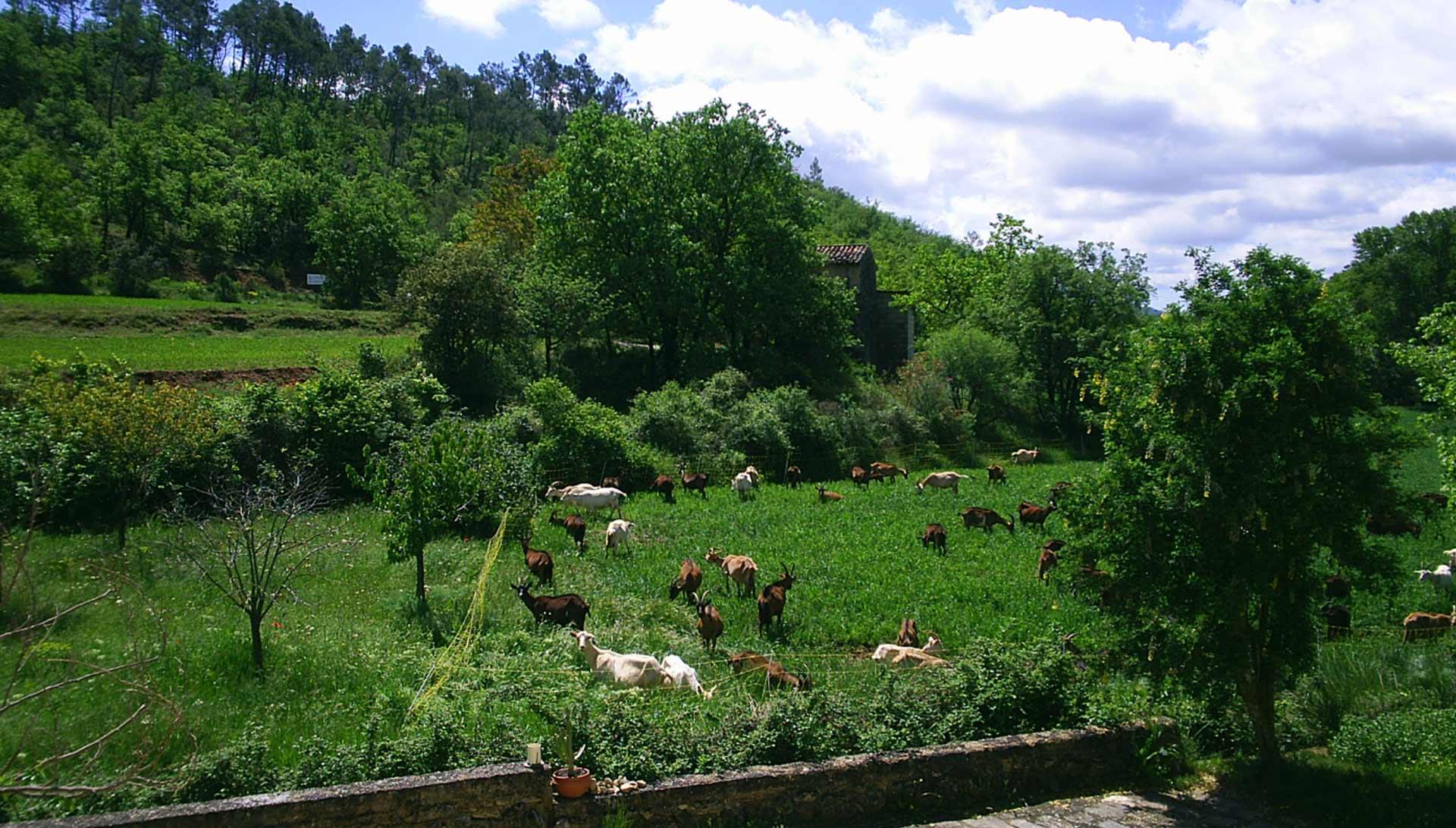 fromagerie-saint-jaume-troupeau2